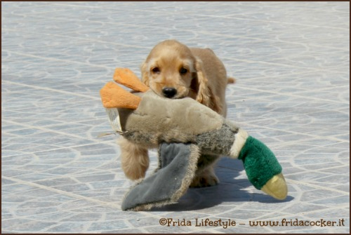 Frida Lifestyle Allevamento Cocker Spaniel Inglese In Sicilia News